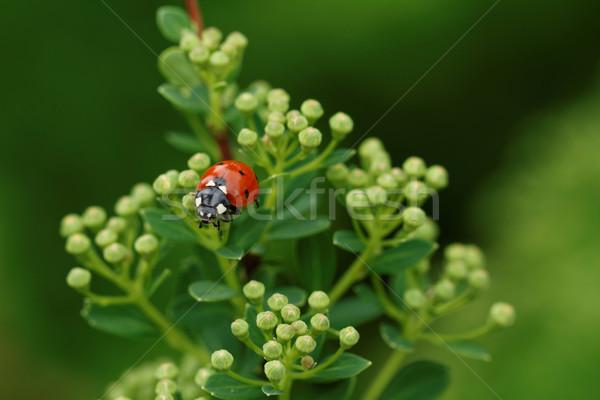Uğur böceği fotoğraf güzel yeşil ot doğa Stok fotoğraf © Nneirda