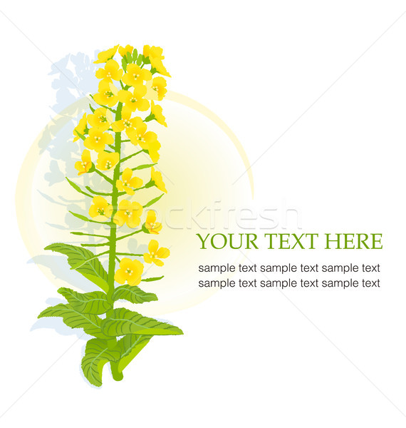 Yellow blooming rapeseed Stock photo © norwayblue