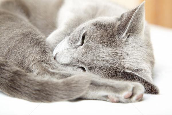 Cat sleeping Stock photo © Novic