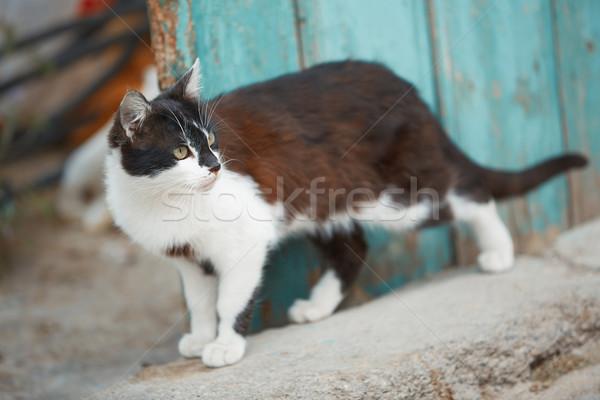 Házimacska falu Törökország fal macska állat Stock fotó © Novic