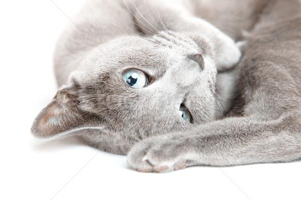 Bichano gato foto cinza Foto stock © Novic