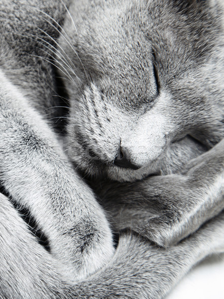Slapen kat russisch Blauw binnenshuis natuurlijk licht Stockfoto © Novic