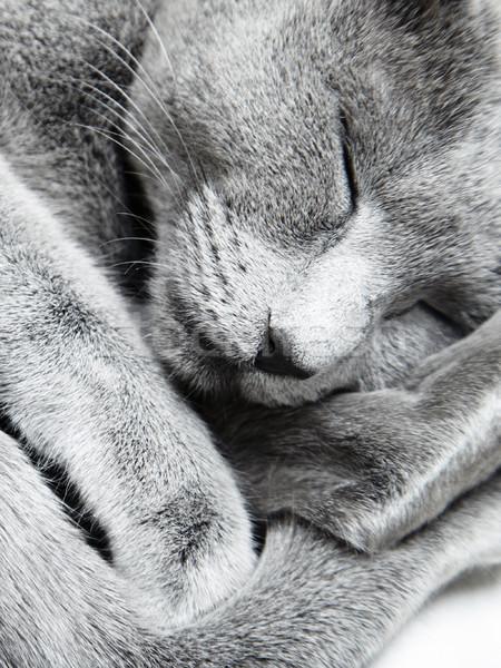 Dormire cat russo blu la luce naturale Foto d'archivio © Novic