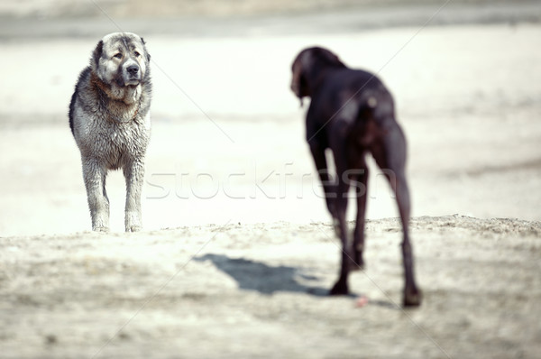 Dogs Stock photo © Novic