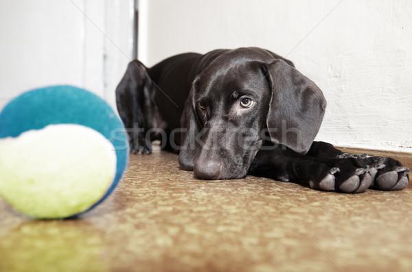 Hond bal triest leggen tennisbal natuurlijk licht Stockfoto © Novic