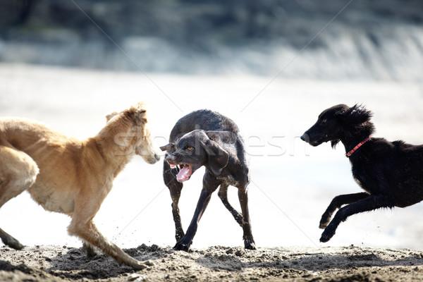 собака борьбе три играет улице Сток-фото © Novic