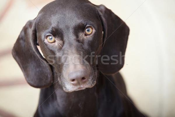 Rövid ül bent kutya arc vicces Stock fotó © Novic