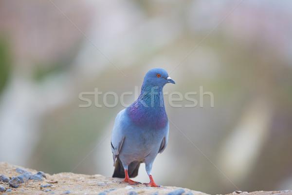 Pigeon Stock photo © Novic