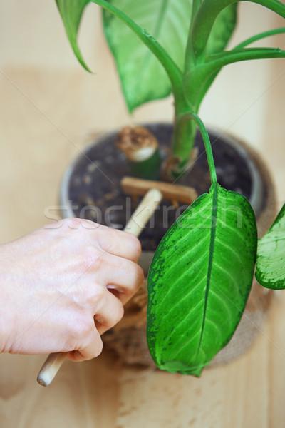 Nő kertészkedés cserepes növény asztal villa növény Stock fotó © Novic