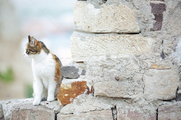 Domestic cat Stock photo © Novic