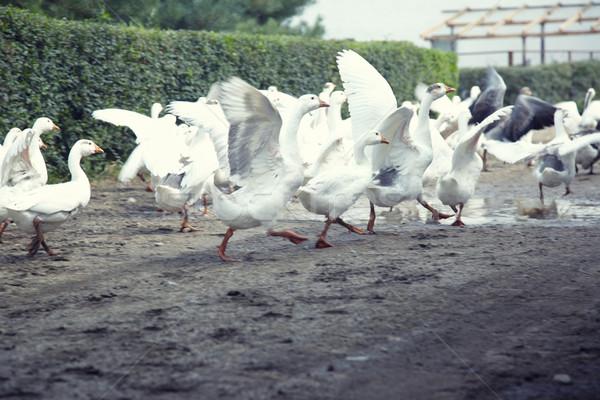Geese running Stock photo © Novic
