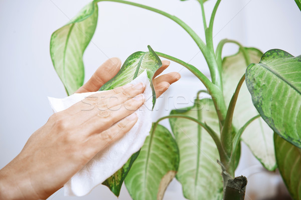 Woman wiping leaves of potted plant Stock photo © Novic