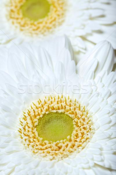 Kettő krizantém virágok közelkép fotó fehér Stock fotó © Novic