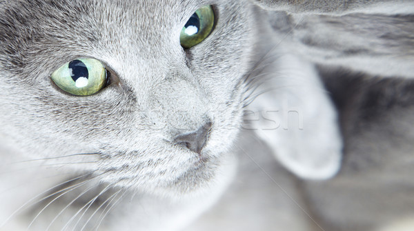 Gray pussy cat Stock photo © Novic