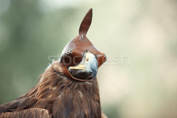 Hunting falcon Stock photo © Novic