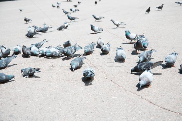 Pigeons on a city street Stock photo © Novic