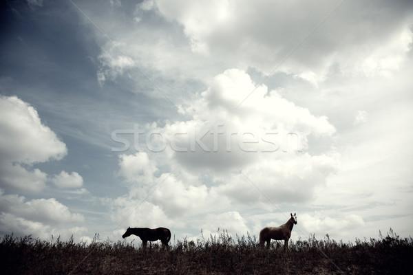 Horses Stock photo © Novic