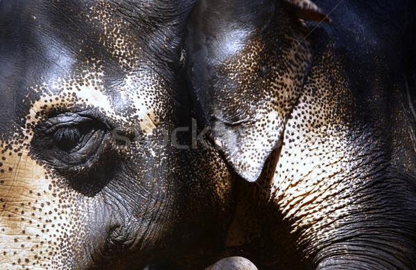 Indian Elephant Stock photo © Novic