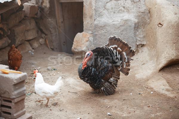 Cocks and Turkey cock Stock photo © Novic