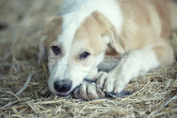 Young dog eating Stock photo © Novic
