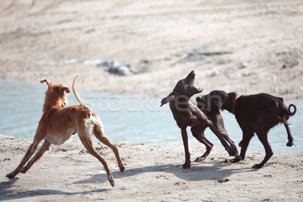 Dog fight Stock photo © Novic