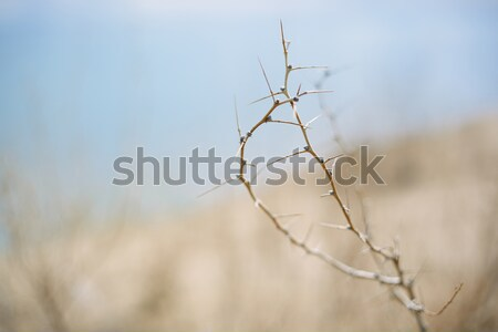 Dried burr in desert Stock photo © Novic