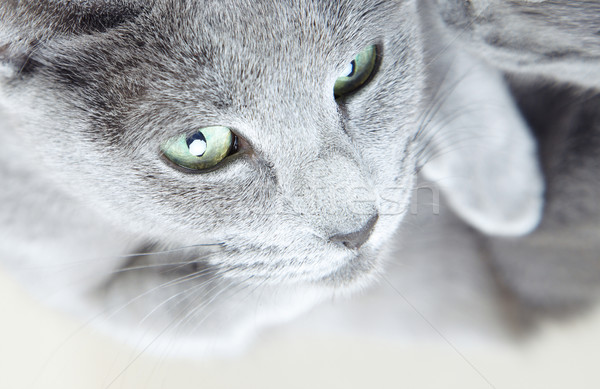 Gris chatte chat portrait couleur Photo stock © Novic