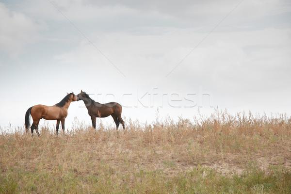 Doua cai împreună în picioare câmp cal Imagine de stoc © Novic