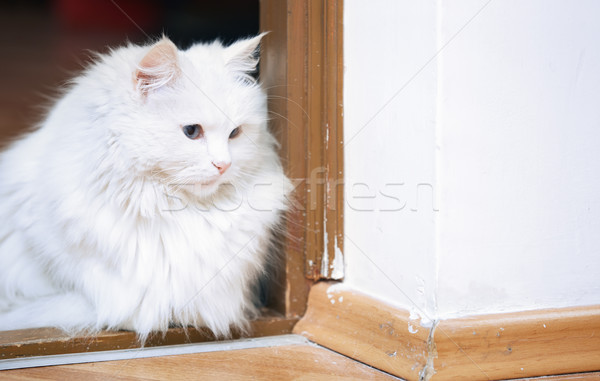 Fluffy weiß Katze Sitzung Stock Tier Stock foto © Novic