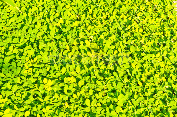 Green and yellow leafs show pattern and background Stock photo © nuiiko