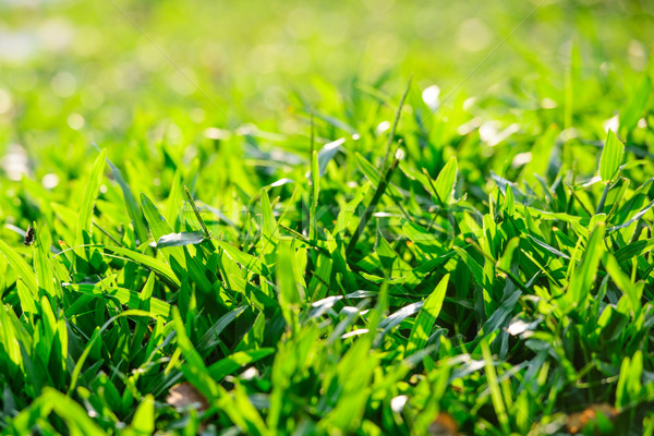 Heldere trillend groen gras gras tuin Stockfoto © nuiiko