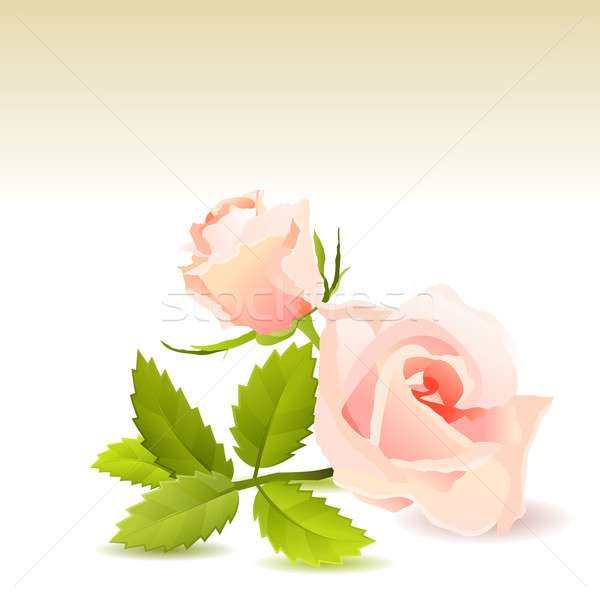 Beautiful pink rose Stock photo © nurrka