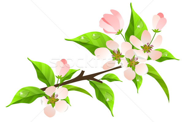 Apple tree branch in bloom Stock photo © nurrka