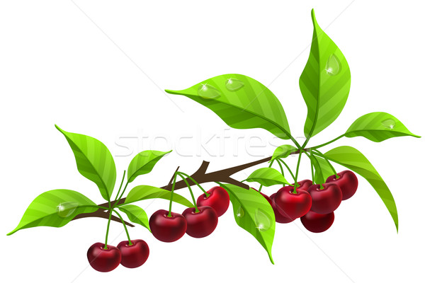 Realistic branch with ripe cherry Stock photo © nurrka