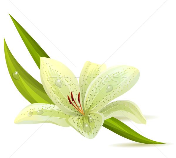 Branco lírio isolado folha jardim fundo Foto stock © nurrka
