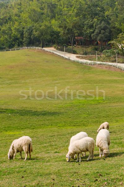 Vijf schapen eten gazon natuur dier Stockfoto © nuttakit