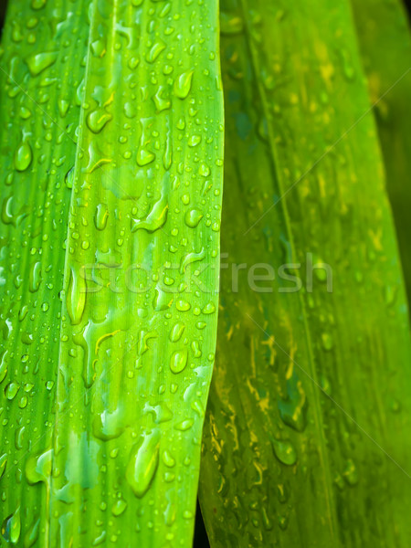 water drop on bamboo leaf Stock photo © nuttakit