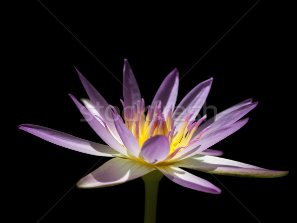 Roze lotus licht zwarte schoonheid zomer Stockfoto © nuttakit