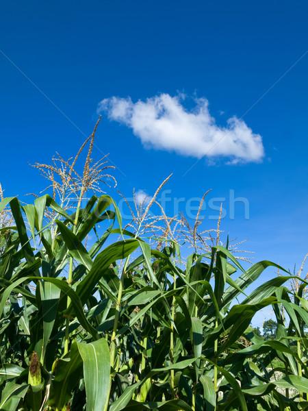 Corn of the cob is growing Stock photo © nuttakit