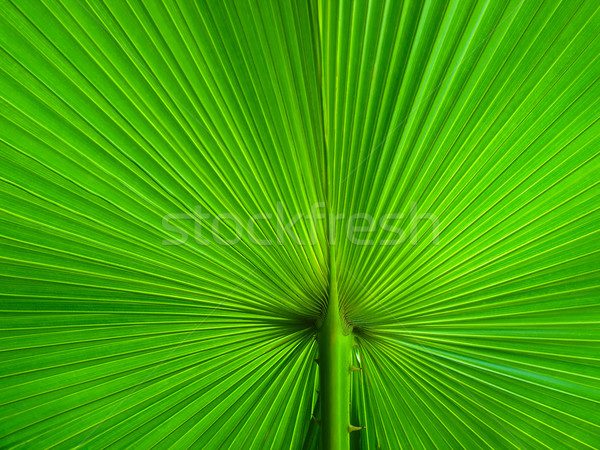 Palm Leaf radius Stock photo © nuttakit