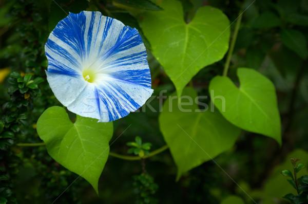 Niebieski biały rano chwała kwiat serca Zdjęcia stock © nuttakit
