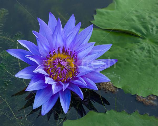 Kék lótusz szirmok lila virágpor zöld Stock fotó © nuttakit