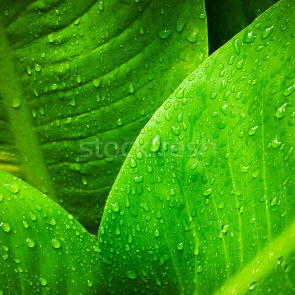 Goutte d'eau laisse résumé image nature feuille Photo stock © nuttakit