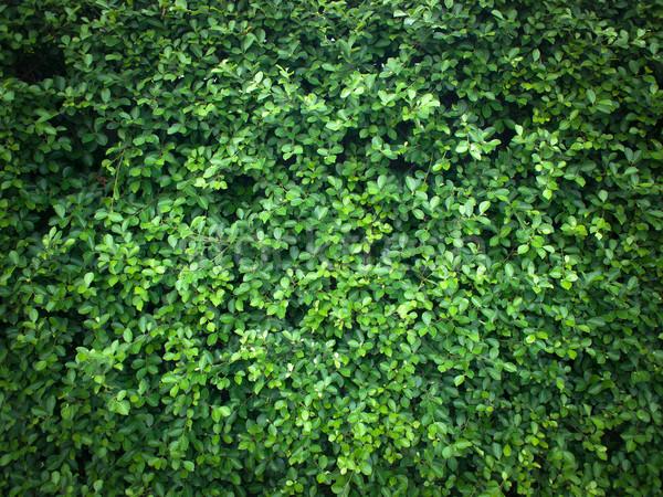 Texture of green leaf Stock photo © nuttakit