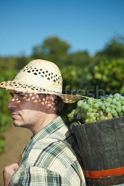 Stock photo: Vintager harvesting grapes