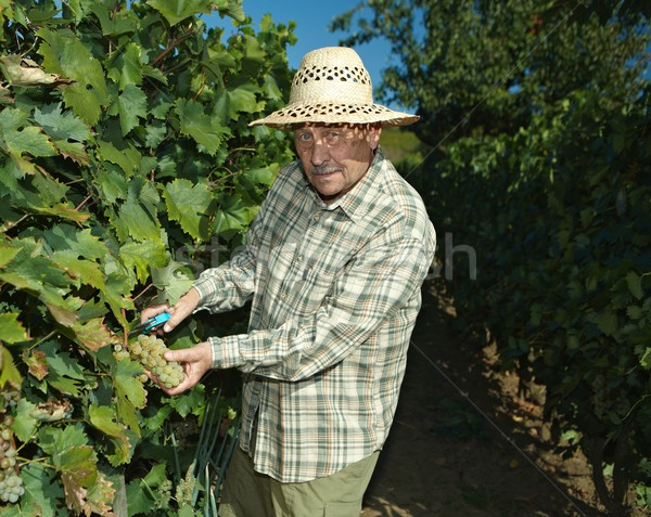 Senior vintner working in vinery Stock photo © nyul