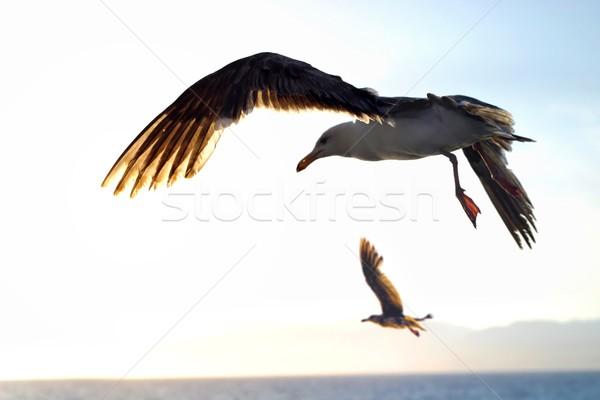 Stock photo: Seagulls in flight