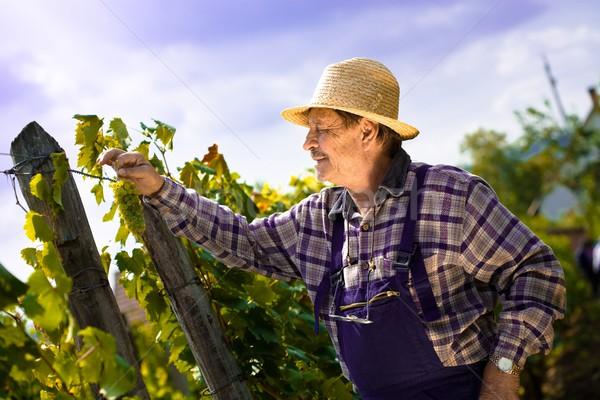 Vintner examining grapes Stock photo © nyul