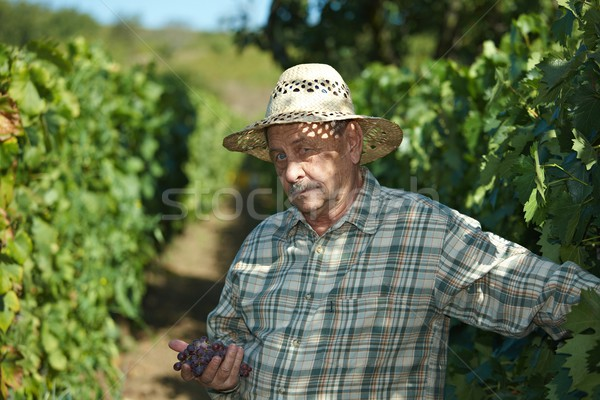 Senior vintner examining grapes Stock photo © nyul