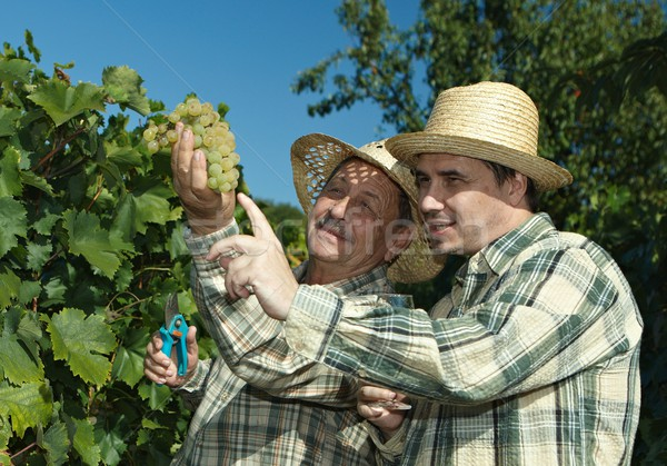 Vintners examining grapes Stock photo © nyul